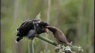 Cuckoo sound