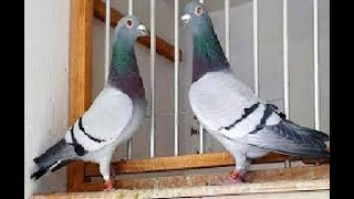 Pigeon don