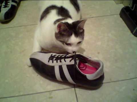 靴の匂いに酔っぱらう猫