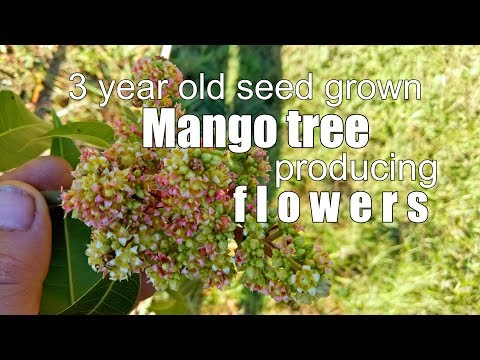 Seed Grown Mango Tree First Flowers