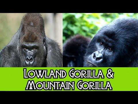 Lowland gorilla & Mountain gorilla - The Differences