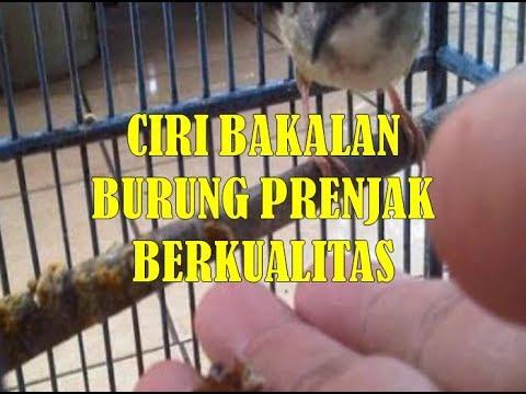 Ciri Ciri Bakalan Burung Prenjak Kepala Merah Berkualitas Bagus Youtube