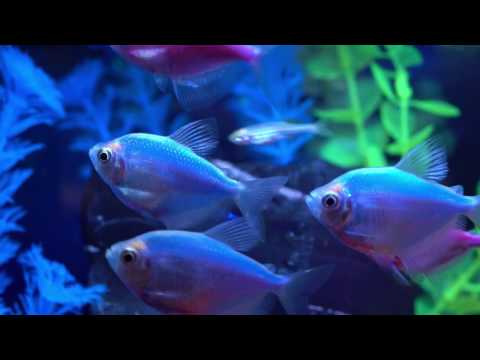 Tetra® – How To Get The Most Vibrant GloFish® Tank