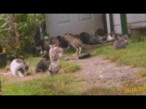 Feral cats out of control in Killingly