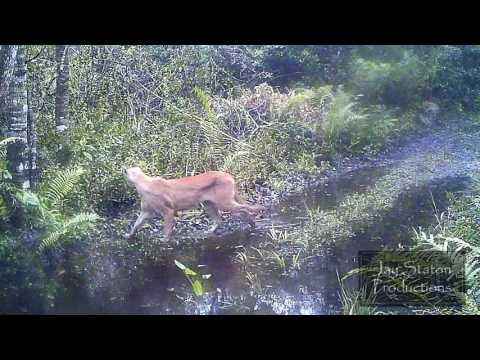 DEER And A Panther In The Swamp