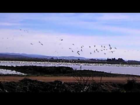 Snow Geese off Matthews Lane Yuba County CA