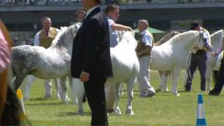 Merlod Mynydd Cymreig - March dros 8 mlwydd | Welsh Mountain Ponies - Stallion over 8 years
