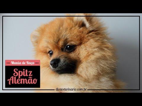 mania-de-raÇa:-spitz-alemÃo- -divã-veterinário