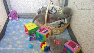 Музыкальный релакс от британских котят