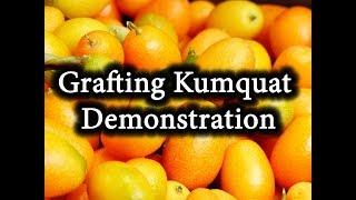 HOW To Graft CITRUS Tree. Grafting Kumquat. Demonstration