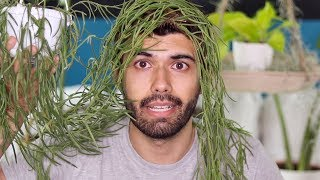 Hoya linearis - Houseplant Exposé