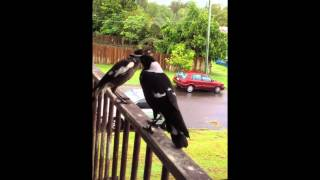 Australian magpies - singing and begging