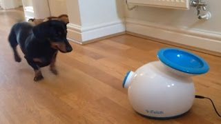 Dachshund Playing With Ball Launcher