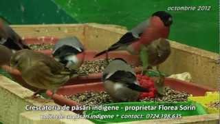 Crescatoria de pasari indigene - volierele cu pasari indigene * proprietar Florea Sorin
