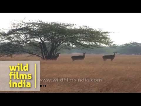 Nilgai, India's largest antelope