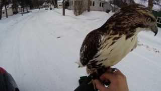 Falconry-Hunting rabbits after work