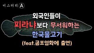 피라냐 보다 무서운 한국 물고기가 있다? /  Snakehead fish korea