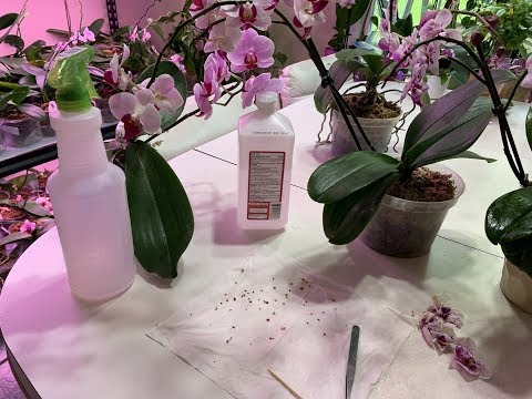 Isopropyl Alcohol- Cleaning Orchid Flowers and Buds from Mealybugs thumbnail