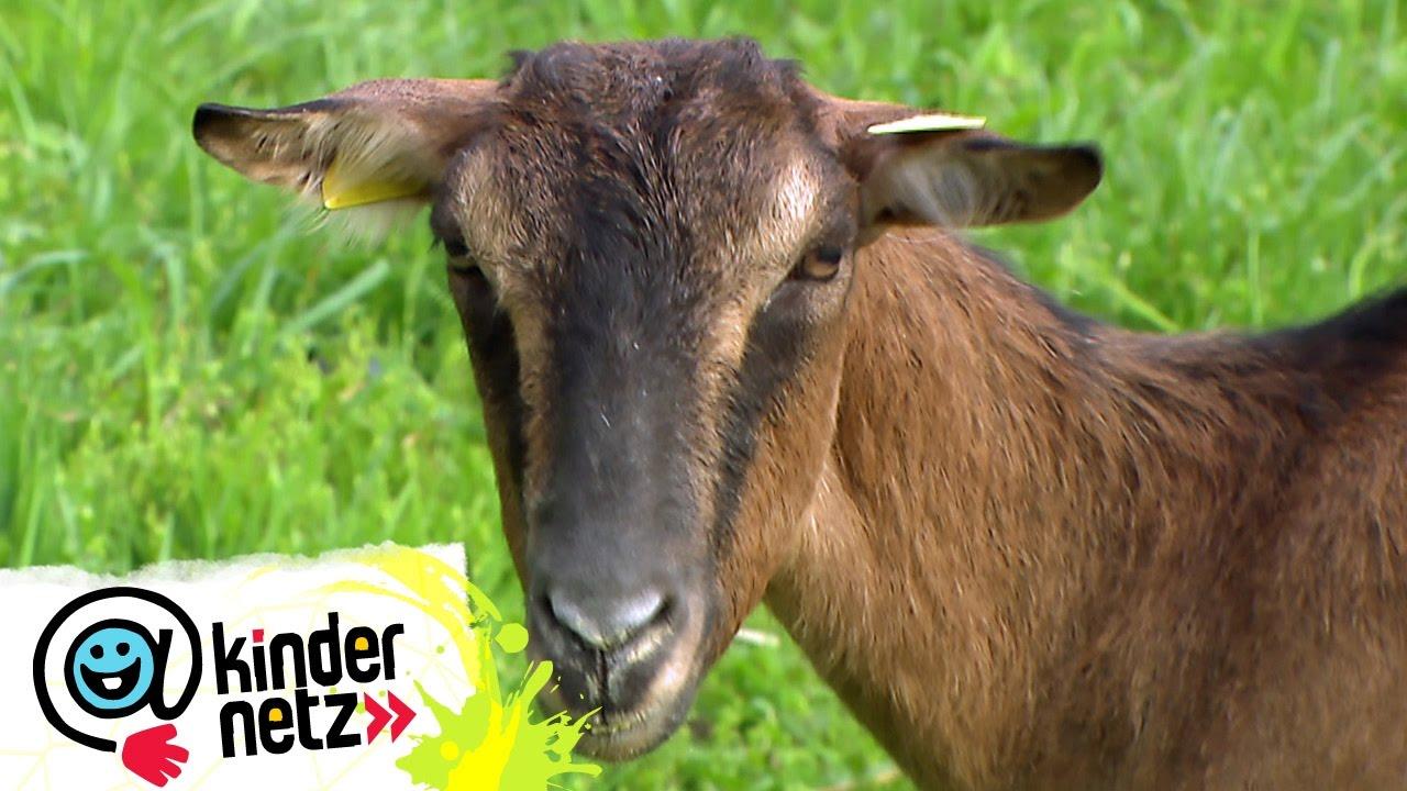 Klettergerüst Ziegen : Ziege über alle berge olis wilde welt swr kindernetz youtube