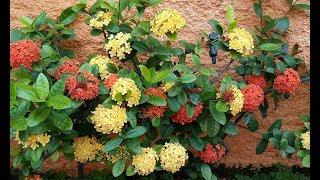 Planta Ixoria – Como Cultivar Para Mantê-las Sempre Belas