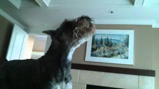 Miniature Schnauzer: Howling Alarm Clock # 3