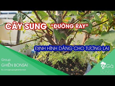 GB.54 - Cây sung đường ray xe lửa nay thế nào |  Dự định tạo dáng cây sung bonsai