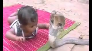 1 year old kid playing with COBRA. (Snake Attack. King Cobra Attack)
