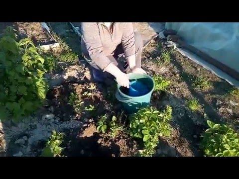 Как рассаживать землянику без усов