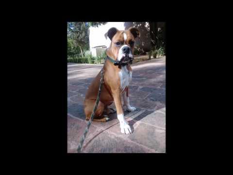 Perro Boxer 7 meses Obediencia, Guardia y Protección
