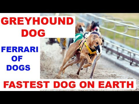 Greyhound The Ferrari Of Dogs In Hindi  | Dog Facts | Popular Dogs | The Ultimate Channel