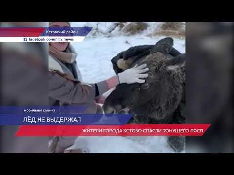 Жители города Кстово спасли тонущего лося