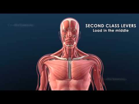 Levers in the human body