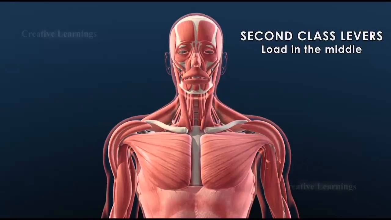 Joints And Levers In The Human Body 3d Animationeducation