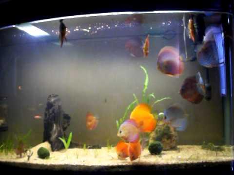 Vivek S Fish Tank Discus Fish India