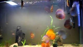 vivek's fish tank (discus fish), india