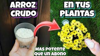 ENTIERRA ARROZ CRUDO en tus Plantas y me darás las Gracias! Huerta urbana en casa y jardín