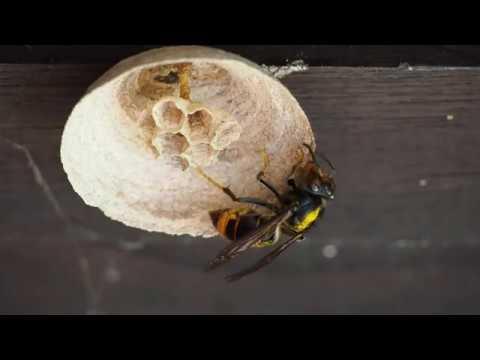 VÍDEO Velutina reina haciendo un nido en Corao