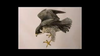 Draw and paint a peregrine falcon - pencils & watercolors time-lapse