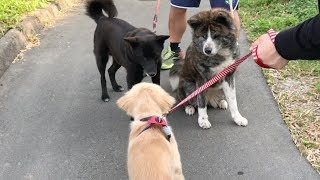 散歩中に出会った秋田犬に近づきアピールするも、友達になれたのかわか...