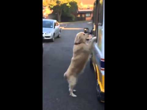Zack the Golden Retriever and the ice cream man - Jukin Media Verified (original)