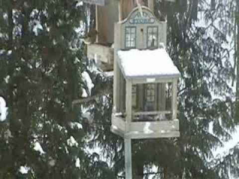 7 goldfinches at backyard bird feeder, Dec 11, 2013 short video clip,  Winnipeg