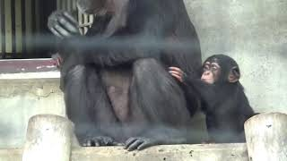 twin twins chimpanzee 2017年10月21日生まれ 双子のチンパンジー カラ...