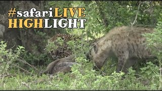 Mara Leopard is challenged by hyena for wildebeest carcass!