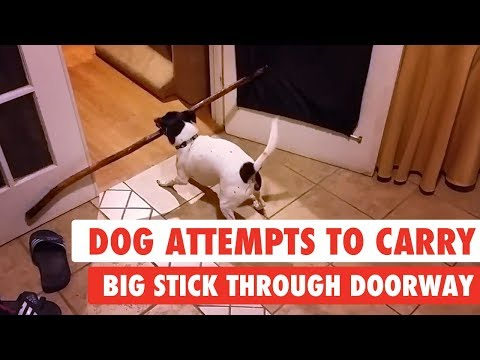 Dog Attempts To Carry Big Stick Through Doorway