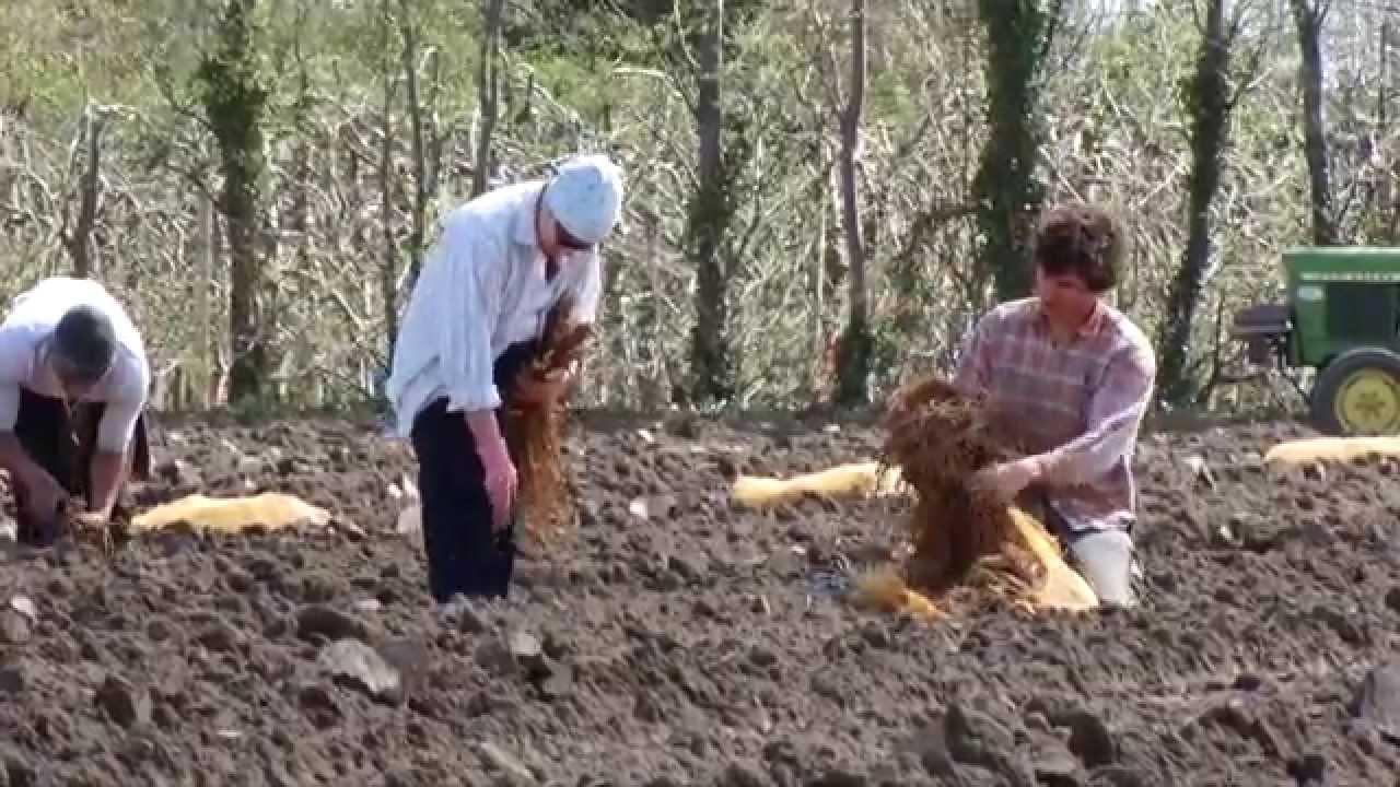Comment Planter Des Asperges culture des asperges aux valayans