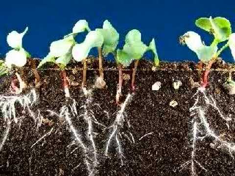 Time Lapse Radish Seeds Sprouting Top And Roots Growing