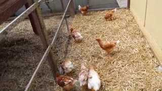 My Cinnamon Queen Chickens from Cackle Hatchery