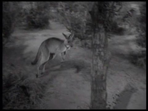 "Lassie - Episode #221 - ""The Wallaby"" - Season 7 Ep. 2 - 09/18/60"