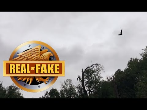 LIVING PTEROSAUR CAUGHT ON CAMERA - real or fake