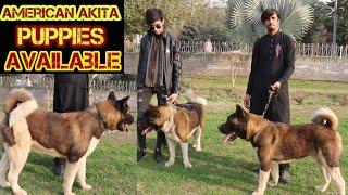 American Akita Dog In Pakistan  American Akita Puppies available in pakistan  Lahore Pets